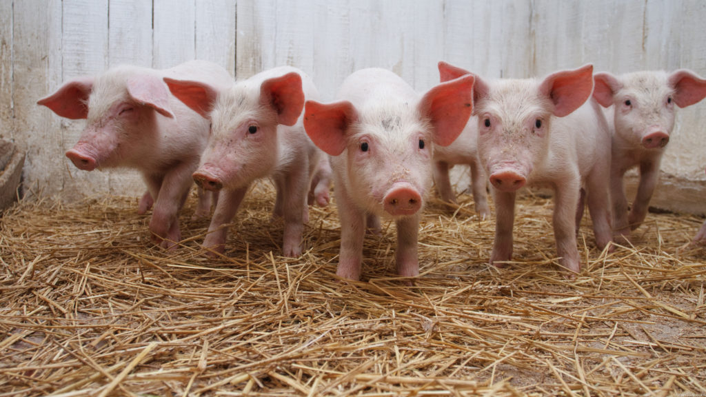 Micro Pigs Pre-requirements